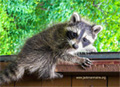 Jackman Maine Raccoon