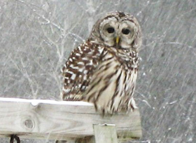 Barred Owl Jackman Maine
