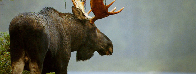 Moose Facts from Maine